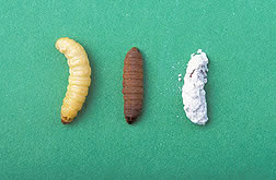 Photos of healthy, infected and coated wax moth larvae.