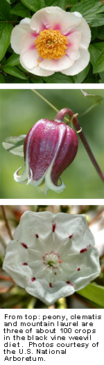 Photo: From top: peony, clematis and mountain laurel are three of about 100 crops in the black vine weevil diet. Photos courtesy of the U.S. National Arboretum.