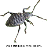 Photo: An adult black vine weevil.