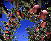 Photo: Apples on branches