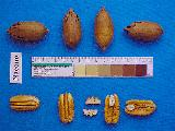 Photo of pecans an nuts placed next to a ruler with color scale on it.