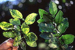 Photo of 2 grapefruit leaves.