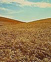 Photo of a field of wheat, a crop whose grains are eaten by insects mentioned in this story.