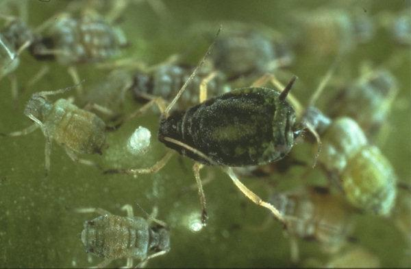 Enlarged photo of a cotton aphid.