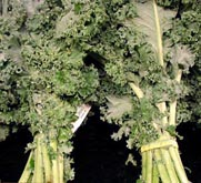 Photo: Two bunches of kale.