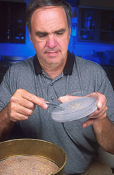 Entomologist Frank Arthur collects red flour beetle larvae for testing.