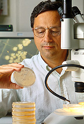 Photo of ARS microbiologist Robert Mandrell examining Campylobacter jejuni colonies growing in petri dishes