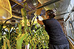 Greenhouse Manager pollinates lines of maize