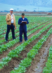 Geneticist Robert Lewellen (left) and technician Jose Orozco evaluate sugar beet breeding lines for disease resistance. Click the image for additional information about it.