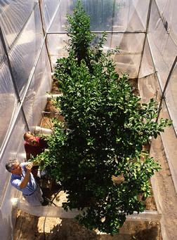 In an open-top chamber with enriched CO2, two scientists assess fruit production on an orange tree. Link to photo information