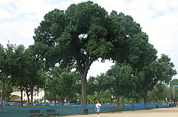 The original 'Jefferson' American elm.