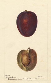 "Watercolor of ""Pacific Prune."""
