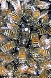 Workers bees throng around a mother queen