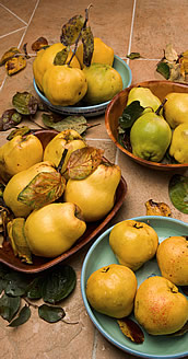 Assorted quince varieties. Link to photo information