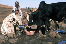 Near stream crossing where water stands in puddles, of puddled water, two Ethiopan women pour water into a container so a bull can drink.