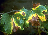 Grape leaves infected with Xylella