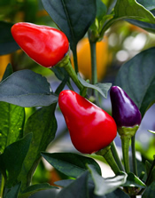 Ornamental red and purple peppers: Link to photo information