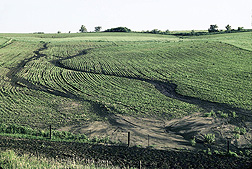 Photo: Crop field with erosion gullies.