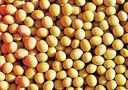 Photo: Yellow soybeans.