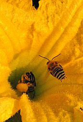 Photo: Squash bee flying onto a squash flower