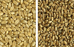 Photo: Grains of hard white wheat (left); grains of hard red spring wheat (right).