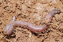 Photo: Earthworm