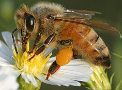 Photo: Honey bee on a flower.