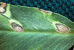 Photo: Chickpea leaf showing symptoms of Ascochyta rabiei infection.