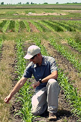 Photo: Agronomist studying bluegrass planted with corn.