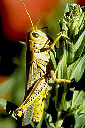 Photo: Grasshopper (Melanoplus sanguinipes).