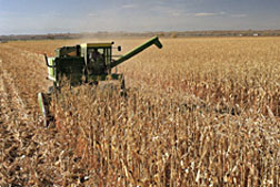 Photo: Harvester at work in a corn field.