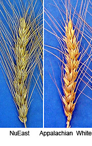 NuEast, a new variety of hard red winter wheat; and Appalachian White, a new variety of hard white winter wheat.