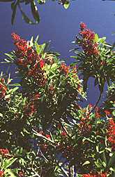 Photo: Brazilian pepper tree.