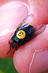 Photo: Adult screwworm fly. Link to photo information