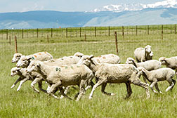 Photo: Sheep running in a field. Link to photo information