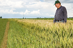 Photo: Wheat showing differences in height due to the amount of irrigation. Link to photo information