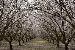 Photo: Almond trees.