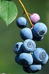 Photo: Blueberries. Link to photo information