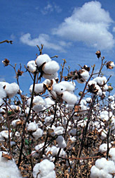 Photo: Cotton bolls. Link to photo information