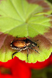 Photo: Japanese beetle on a geranium leaf. Link to photo information