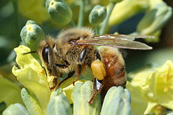 Photo: A honey bee on broccoli.