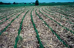 Photo: No-till soybeans planted among corn residues.