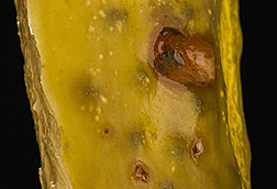 Photo: A preserved cucumber with red-colored spoilage from Lactobacilli. Link to photo information