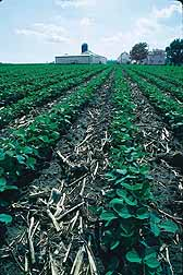 Photo: Soybean plants being grown with conservation tillage.