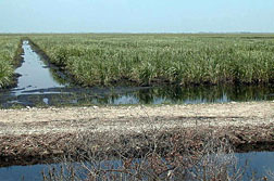 Photo: A flooded field of sugarcane.