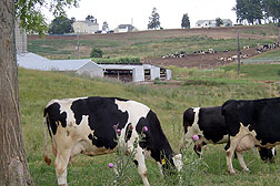 Photo: Grazing dairy cows and houses are part of the Warner Creek watershed.