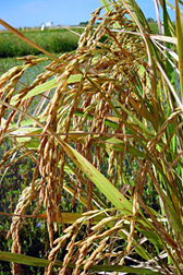 Photo: Charleston gold rice panicles.