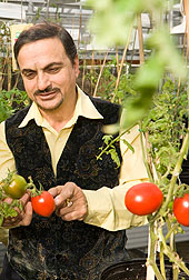 Photo: ARS plant physiologist Autar Mattoo examines some of the tomatoes he is breeding.
