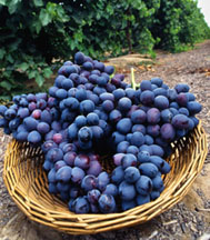 Photo: Autumn Royal, an ARS-developed seedless grape variety. Link to photo information