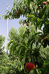 Photo: Ripe peaches hang on the tree. Link to photo information